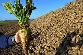 ازآغاز فصل خرید تاکنون / میزان تحویل چغندر قند به کارخانه قند شرکت صنعتی و کشاورزی شیرین خراسان به 7 هزار تن افزایش یافت