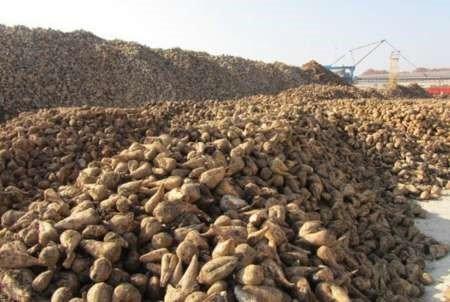 همزمان با شروع فصل خرید / تاکنون دو هزار و هفتصد تن چغندر قند تحویل سیلو های شرکت صنعتی و کشاورزی شیرین خراسان شد