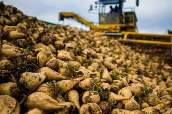 میزان تحویل محصول چغندرقند به کارخانه قند شرکت صنعتی و کشاورزی شیرین خراسان به مرز70 هزارتن رسید