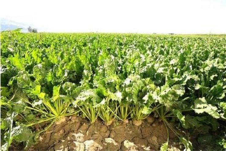 قیمت خرید تضمینی چغندر قند از کشاورزان موردبازنگری قرار می گیرد