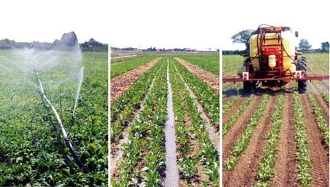 تولید بیش از پنج میلیون تن چغندر قند بهاره در کشور پیش بینی شده است